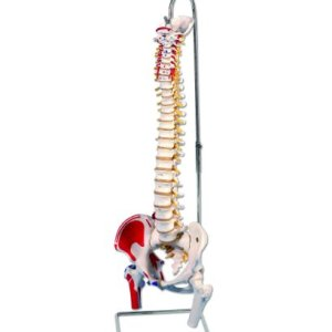3B Scientific A58/3 Classic Flexible Spine Model with Femur Heads and Painted Muscles, 32.7″ Height