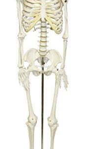 Walter Products B10202 Human Skeleton Model, Half Size 33″ (84 cm)