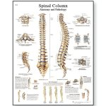 """3B Scientific VR1152L Glossy Laminated Paper Spinal Column Anatomical Chart, Poster Size 20"""" Width x 26"""" Height"""