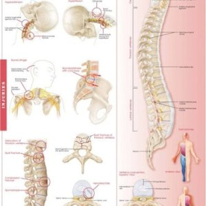 Anatomy and Injuries of the Spine: Anatomical Chart