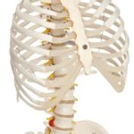 "3B Scientific A56/2 Classic Flexible Spine Model with Ribs and Femur Heads, 32.7"" Height"
