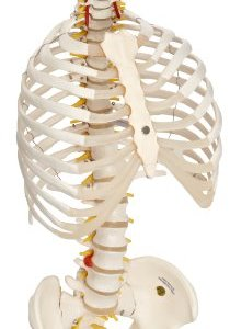 3B Scientific A56/2 Classic Flexible Spine Model with Ribs and Femur Heads, 32.7″ Height