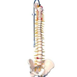 3B Scientific A58/5 Deluxe Flexible Spine Model, 29.1″ Height