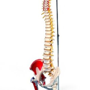 3B Scientific A58/7 Deluxe Flexible Spine Model with Femur Heads and Painted Muscles, 32.7″ Height