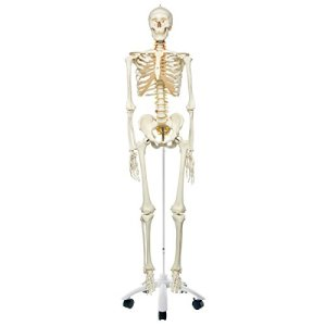 """3B Scientific A15 Plastic Flexible Human Skeleton Model """"Fred"""", Flexible, Feet and Hand Wire Mounted, 66.9″ Height"""