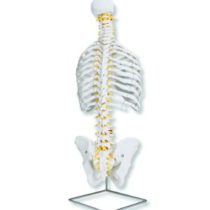 3B Scientific A56 Classic Flexible Spine Model with Ribs, 29.1″ Height